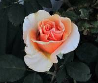Golden Rose IMG_1747