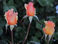 Golden Rose IMG_1757