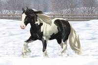 Black Pinto Gypsy Cob Draft Horse In Snow