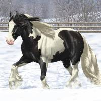 Black Pinto Gypsy Cob Draft Horse In Snow Art Prints & Posters by Crista Forest