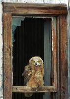 juvenile owl in window