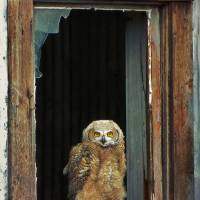 juvenile owl in window by r christopher vest