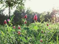 Red Clover 1