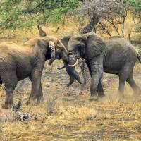 East African Elephants at Play Art Prints & Posters by Mark and Judy Coran