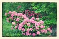 Romantic Rhododendrons
