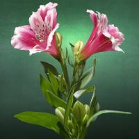 Peruvian Lily by I.M. Spadecaller
