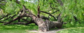 Gnarled old tree at Mission San Jose