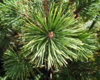 Abstract Nature Green Pine Tree Macro Photo 210