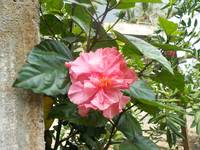 Pink hibiscus flower on the tree