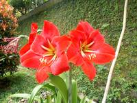 Amaryllis in red color