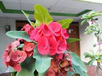 euphorbia at the tree, red