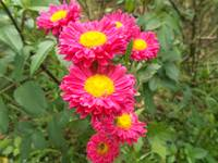 chrysanthemum pink color flower