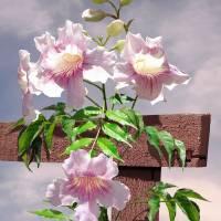 Pink Trumpet Vine on Trellis by I.M. Spadecaller