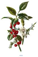a sprig of holly with bright scarlet berries