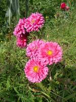 chrysanthemum on pink color