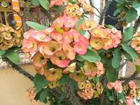 euphorbia on the tree