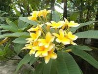 Plumeria in yellow color