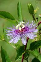 Florida Wildflower - Purple Passionflower by Carol Groenen