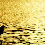 """Wading in GOLD!!!, Udaipur"" by iamit10"