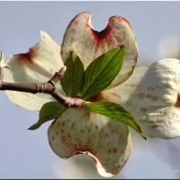 Dogwood blossom Art Prints & Posters by Mikki Cucuzzo