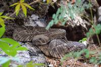 New Mexico Rattlesnake