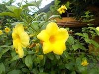 allamanda flower on the frontyard