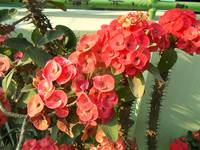 red euphorbia flowers