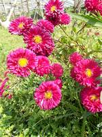 chrysanthemum in pink or maroon color