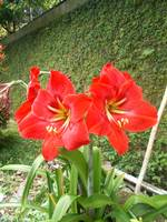 Amaryllis red on the plants