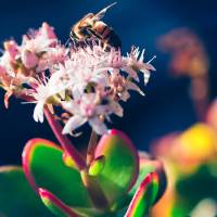 Crassula Ovata Flowers And Honey Bee Art Prints & Posters by Sharon Mau