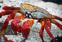 Artistic Nature Red and Blue Rainbow Crab 908