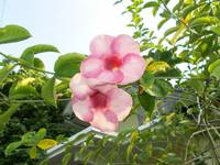 Allamanda pink color at the tree, alamanda