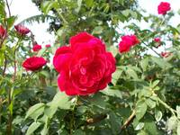 red rose at the plants