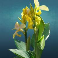 Spade's Yellow Canna Lily by I.M. Spadecaller