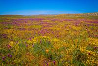 Antelope Valley Superbloom