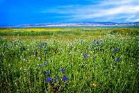 Mixed Wildflowers on the Carrizo Plain
