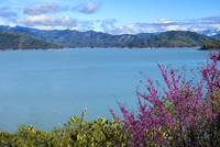 Redbud Glory at Lake Shasta