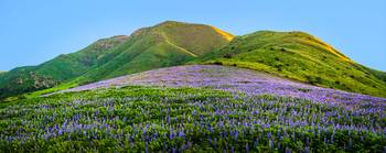 Santa Monica Mountain Lupine Panorama