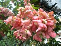 mussaenda pink flower on the tree