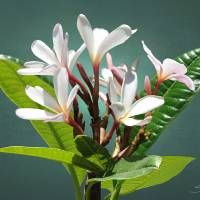 The Frangipani Flower by I.M. Spadecaller