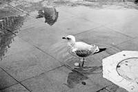 Seagull in San Marco square