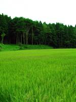 Northern Japan Rice Field