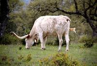 White Texas Longhorn Steer