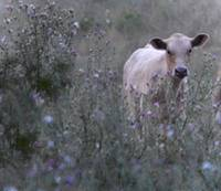 Calf in Flowers