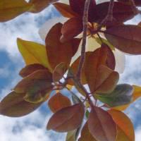 Magnolia Sky jumper Art Prints & Posters by Ralph Nelsen