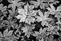 Maple Seedlings Ground Cover