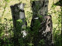 Birch Tree Stumps