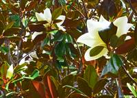 Magnolia Light