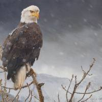 bald eagle getting snowed on by r christopher vest