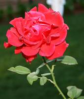 Stand alone rose